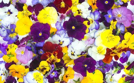 Makaron z polnymi bratkami - do czego wykorzystać jadalne kwiaty